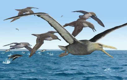 Extinct giant seabirds had 21-foot wingspans