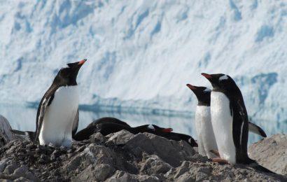 Split Gentoo Penguin into four species, researchers say