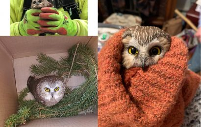 Owl rescued during setup of Rockefeller Center Christmas tree
