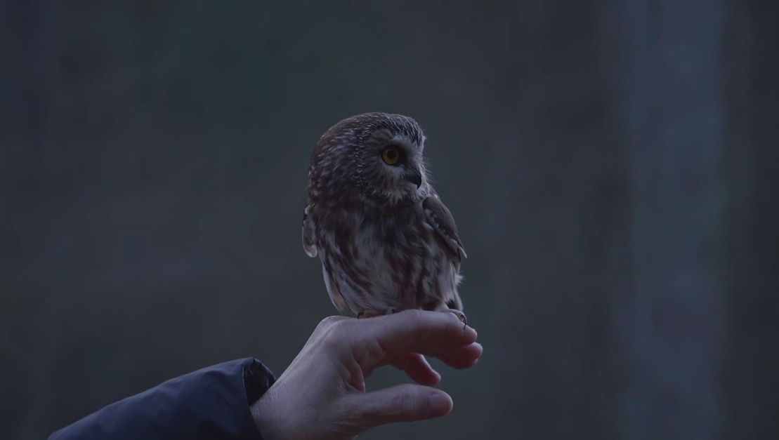 saw-whet owl