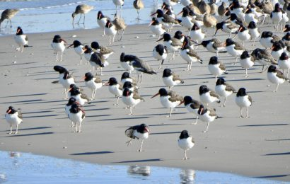 American Oystercatchers and Marbled Godwits