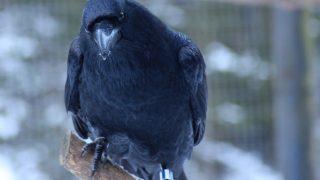 ravens' cognitive skills