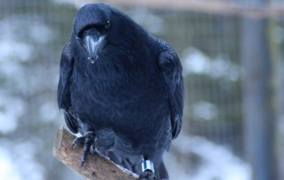 4-month-old ravens' cognitive skills similar to those of adult great apes