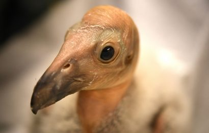 Help name a condor chick with a donation to the California Condor Recovery Program