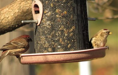 Common Redpoll and House Finch