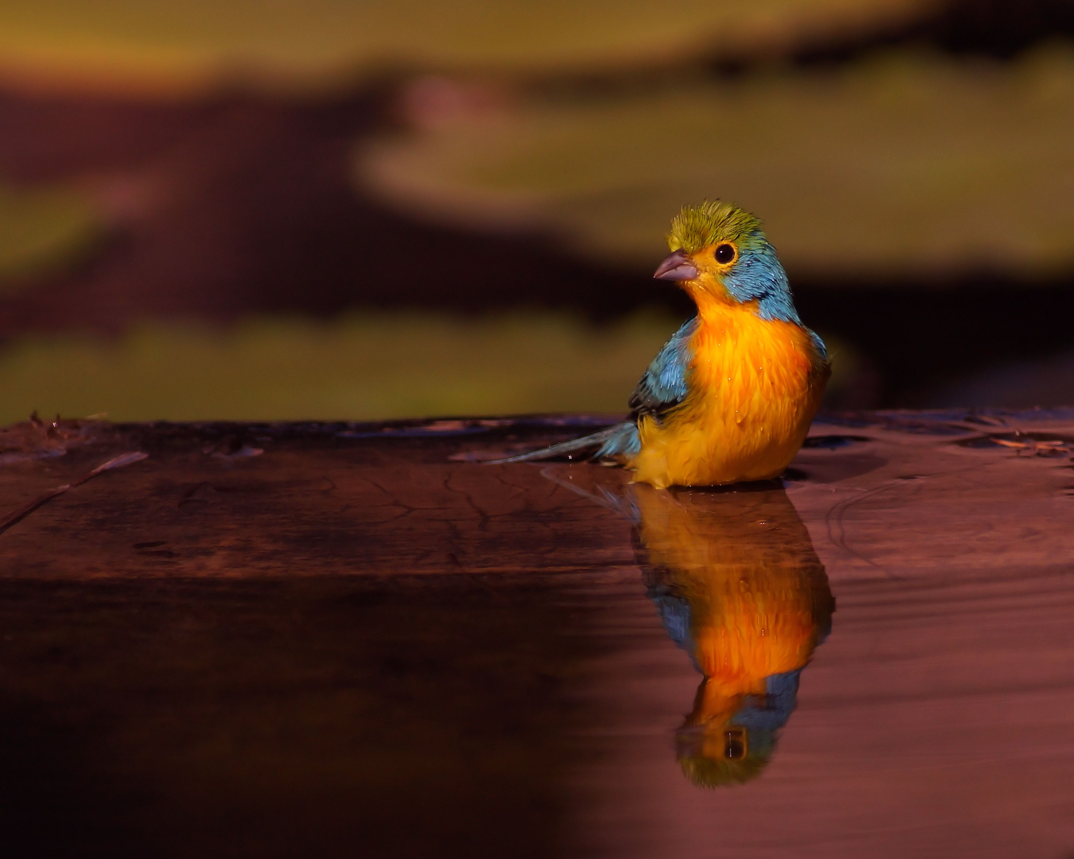 Orange-breasted Bunting