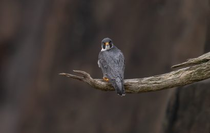 New research about where Peregrine Falcons winter