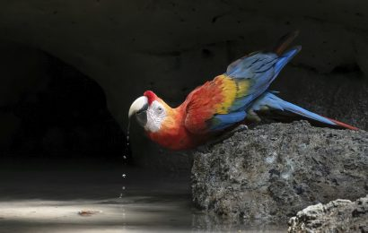 2020 Color of Birds contest second place: Scarlet Macaw