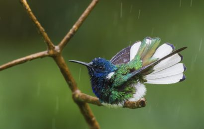 2020 Color of Birds contest third place: White-necked Jacobin