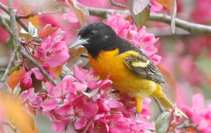 Keys to attracting orioles to your yard
