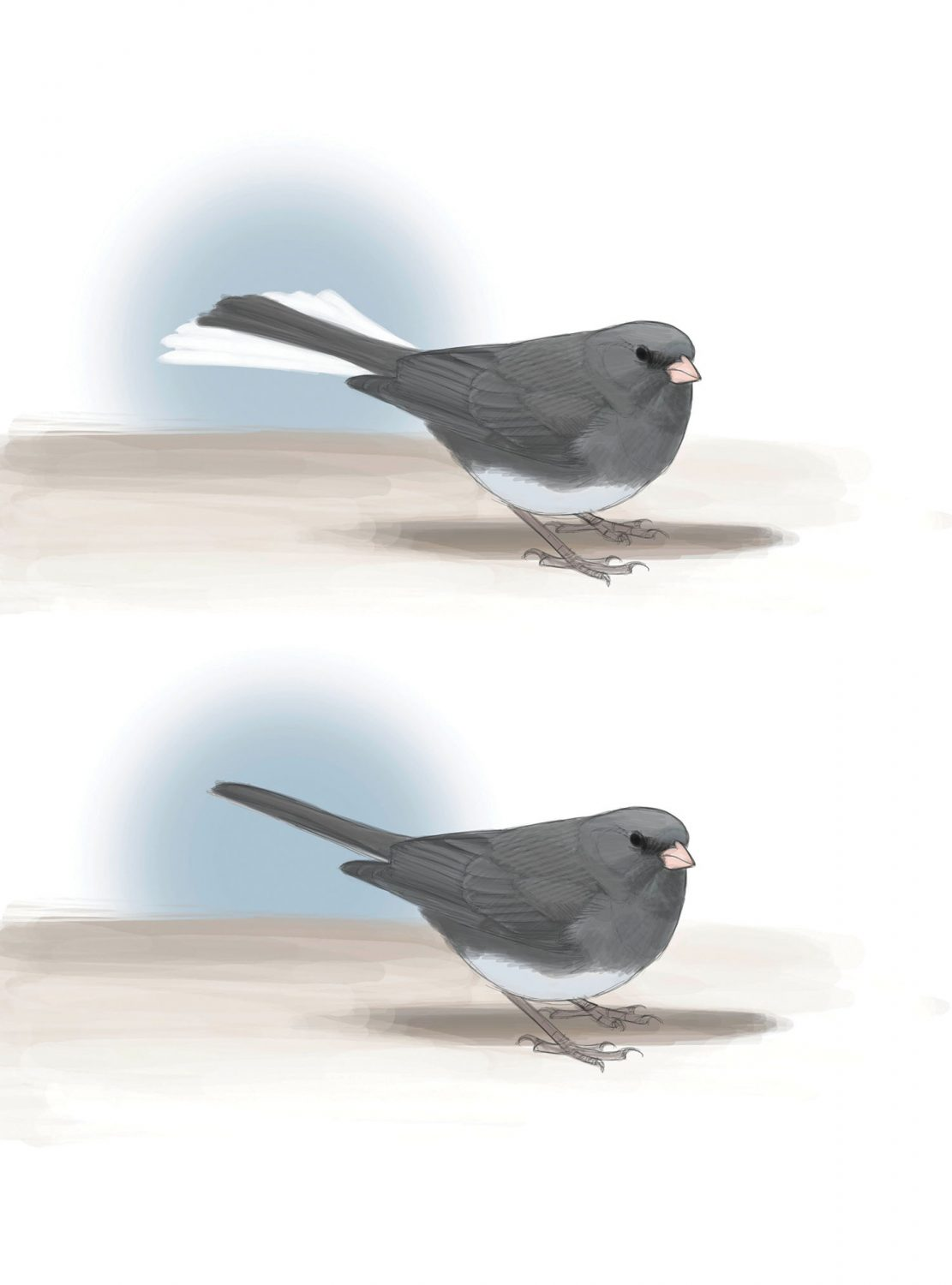 THE FLASH: A junco foraging on the ground often flicks its tail open, revealing a brief flash as the white outer tail feathers fan out from under the dark central feathers and then are hidden again under the other feathers. Illustration by David Allen Sibley