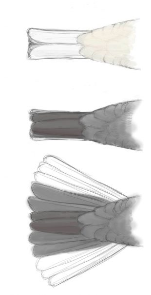 ONE TAIL, THREE VIEWS: The tail of a Dark-eyed Junco viewed from below when closed (top) and from above closed (middle) and open (bottom), with central tail feathers shown darker brown. Illustration by David Allen Sibley