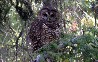 Trump strips protections for Northern Spotted Owl