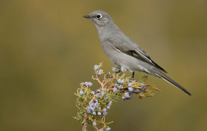 Advice for identifying Townsend's Solitaire
