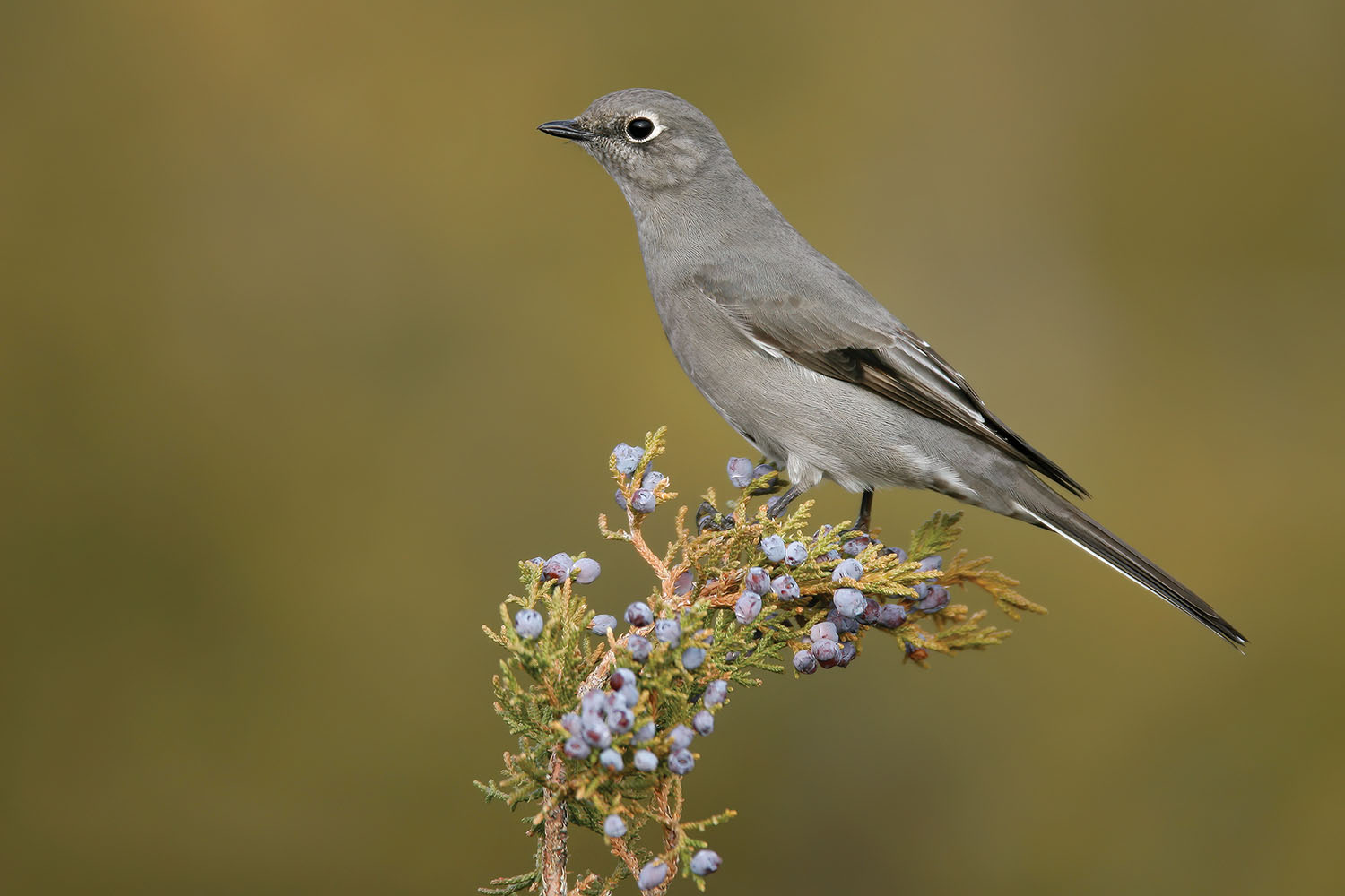 Townsend's Solitaire, adult. December in Los Alamos County, New Mexico. Photo by Brian E. Small