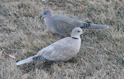 African and Eurasian Collared-Doves