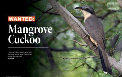 Wanted: Mangrove Cuckoo