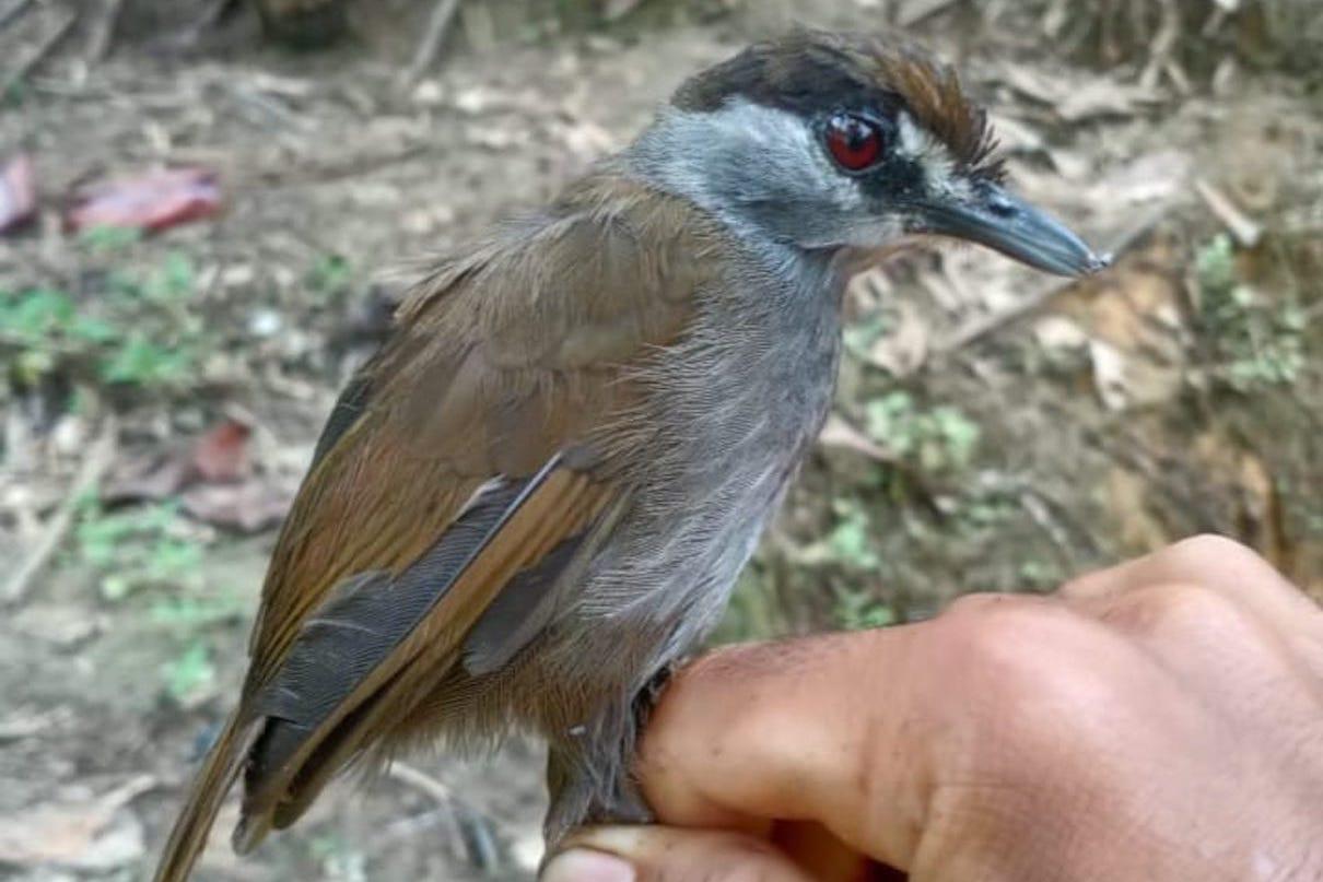 Black-browed Babbler