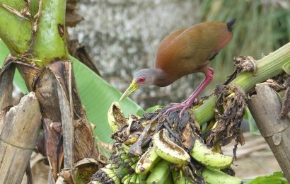 Encounters with Brown Wood-Rail in Ecuador