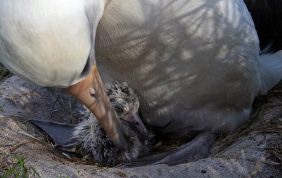 World's oldest known wild bird hatches chick