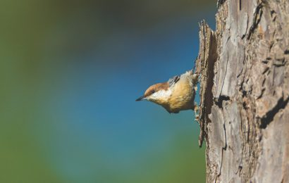 With help, Brown-headed Nuthatch returns to Missouri
