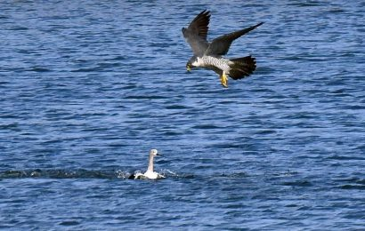 Peregrine Falcon and American Avocet