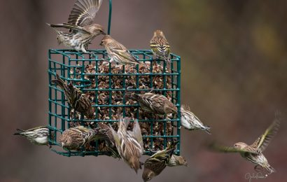Disease outbreak sparks calls to take down bird feeders