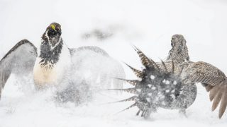 Greater Sage-Grouse population
