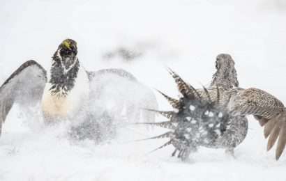 Greater Sage-Grouse population down 80% since 1965