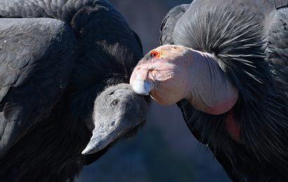 Here's why you should look twice at every Turkey Vulture
