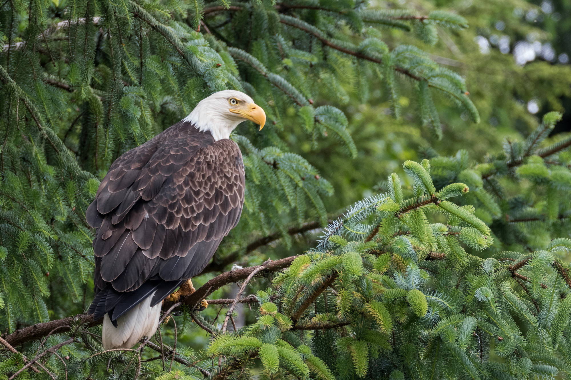 A Bald Eagle in a forest in British Columbia. Photo by Tony Joyce