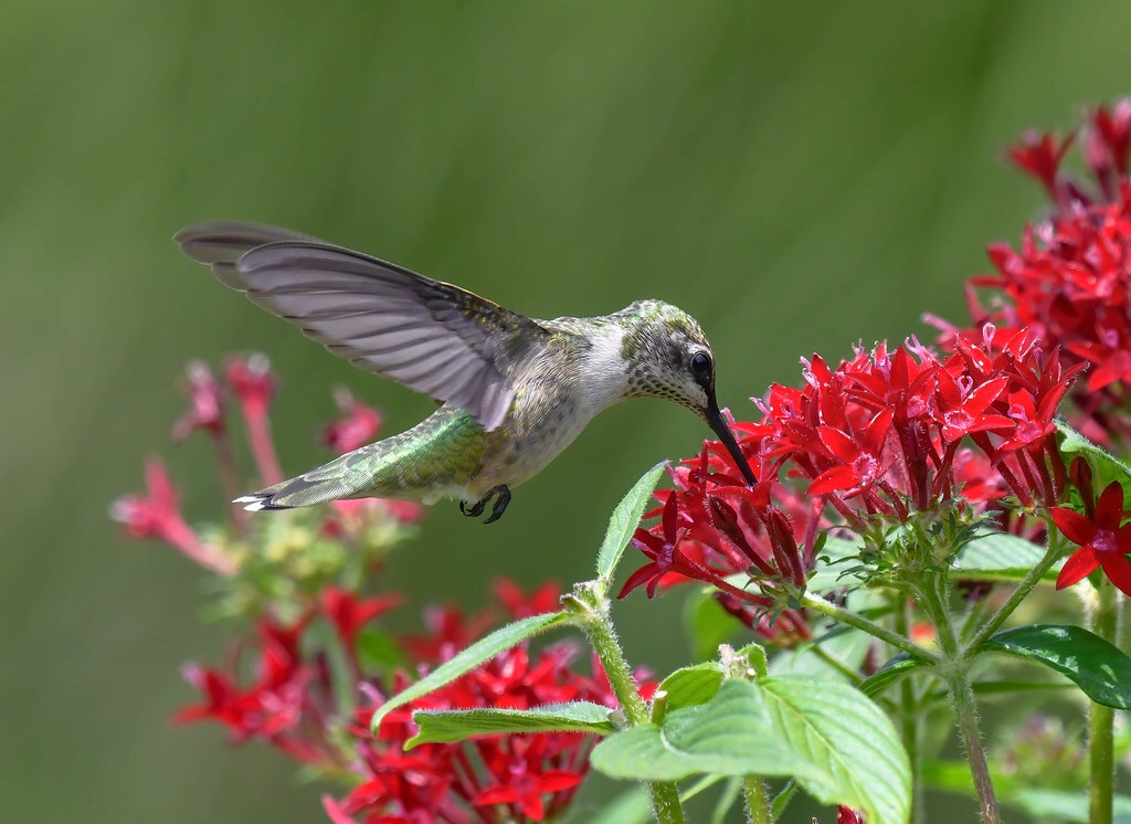 A juvenile Ruby-throated Hummingbird spotted in Springfield, Missouri. Hummingbirds are the subject of the new book The Glitter in the Green. Photo by Steve Ricketts