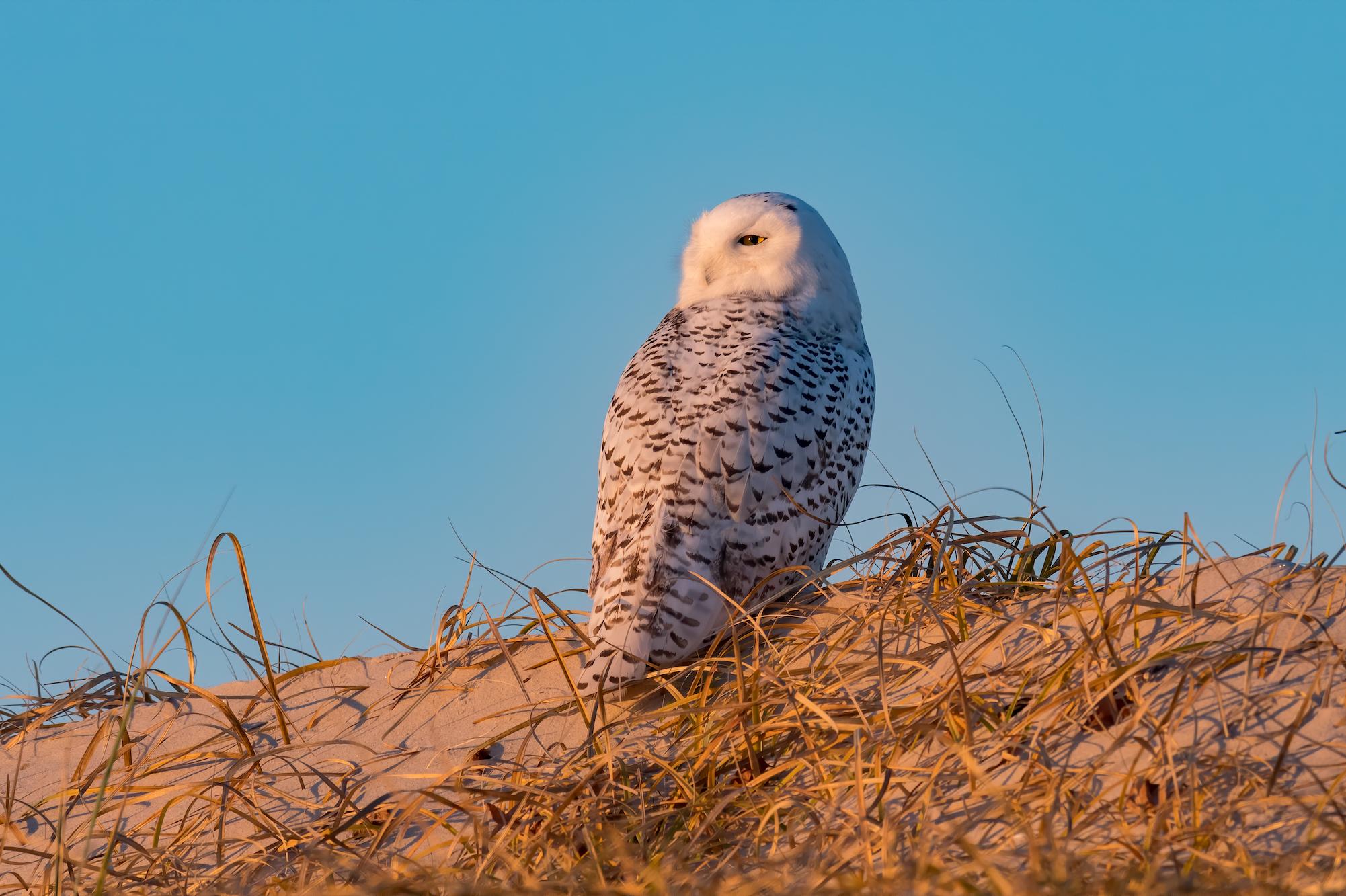 Wintering Snowy Owls