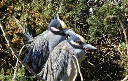 Yellow-crowned Night-Herons
