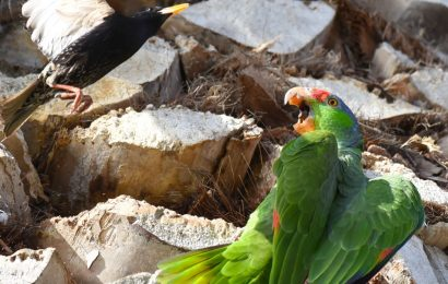 Lilac-crowned Parrot and European Starling