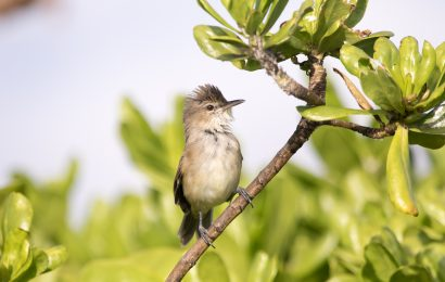 Millerbird numbers triple on Laysan Island