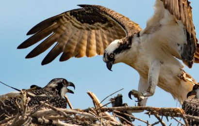 Tracking project reveals Osprey migration feat