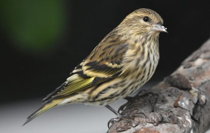 CDC: Salmonella outbreak among songbirds caused human illnesses