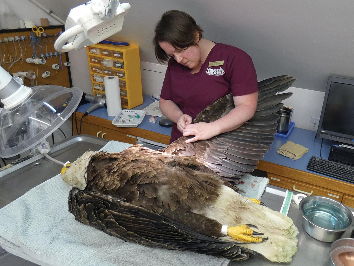 Die Wildtierärztin Cristin Kelley von Tri-State Bird Rescue & Research in Delaware nähte den verletzten Flügel eines Weißkopfseeadlers, während er im Mai 2019 unter Narkose war. Der Vogel wurde auf einer Autobahn verletzt aufgefunden und nach seiner Genesung freigelassen.  Foto von Tri-State Bird Rescue & Research