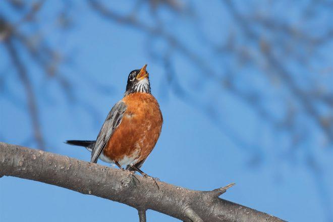 American Robin, Best Birdsong Apps