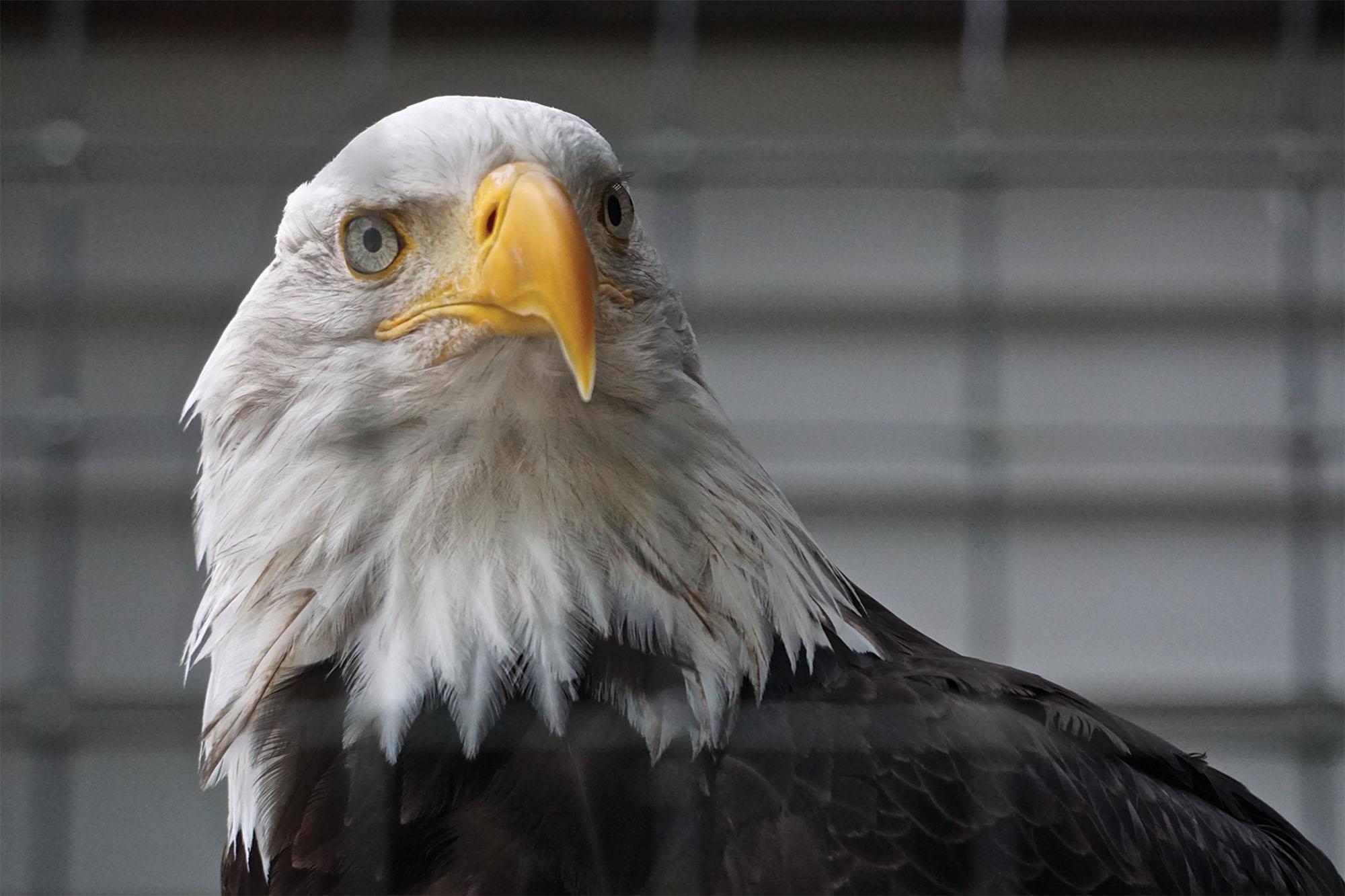 A Bald Eagle is shown behind mesh fencing at the Alaska Raptor Center. Linda Harms/Shutterstock