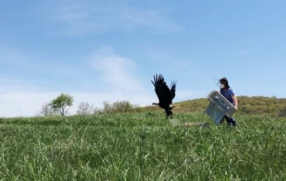 Bald Eagle flies free after rehabbers save it