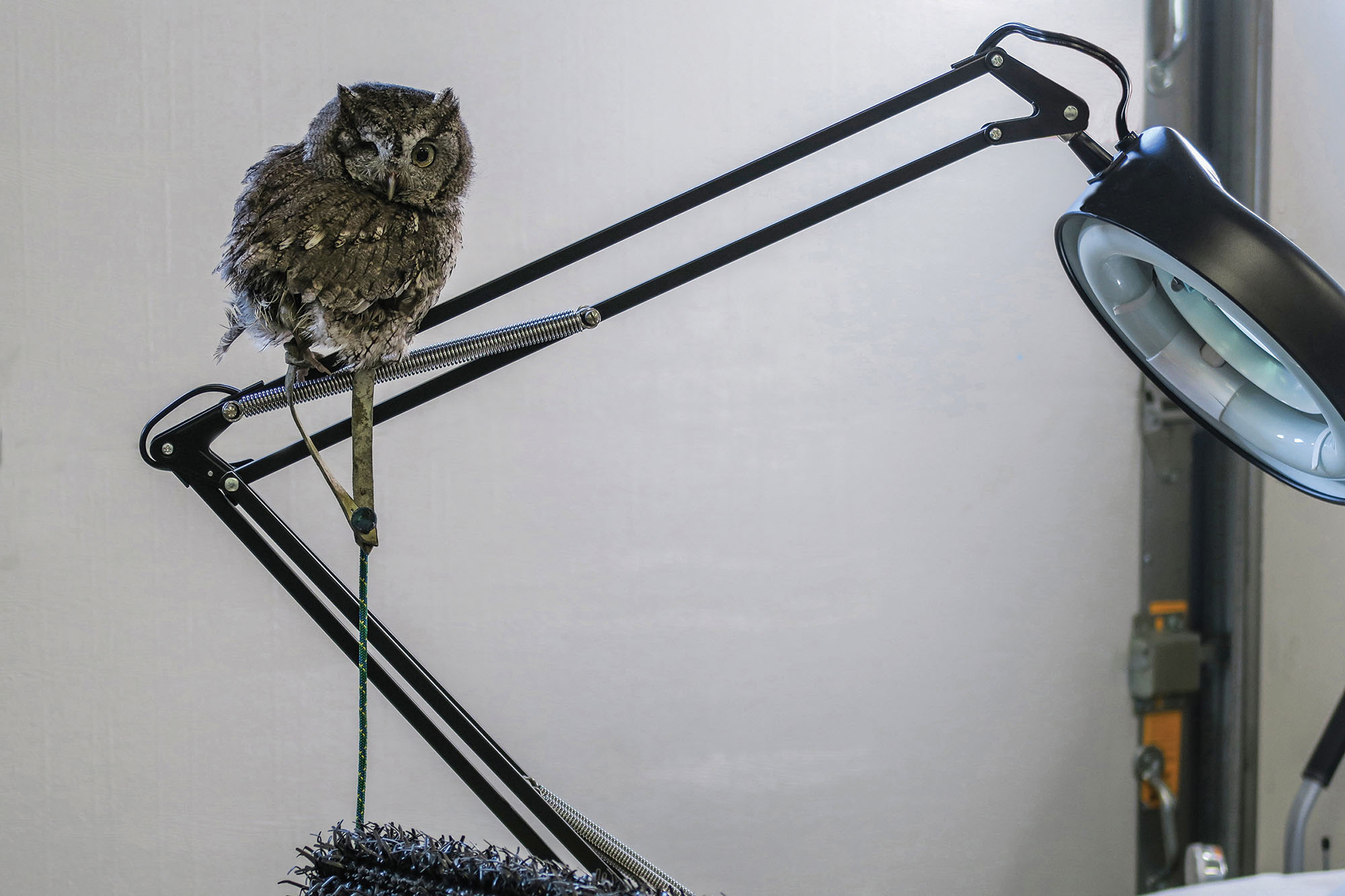 An Eastern Screech-Owl perches at a rehab facility in Iowa City, Iowa. The screech-owl lost an eye and cannot be released into the wild, so it now appears in education programs. Nikki Herbst/Shutterstock