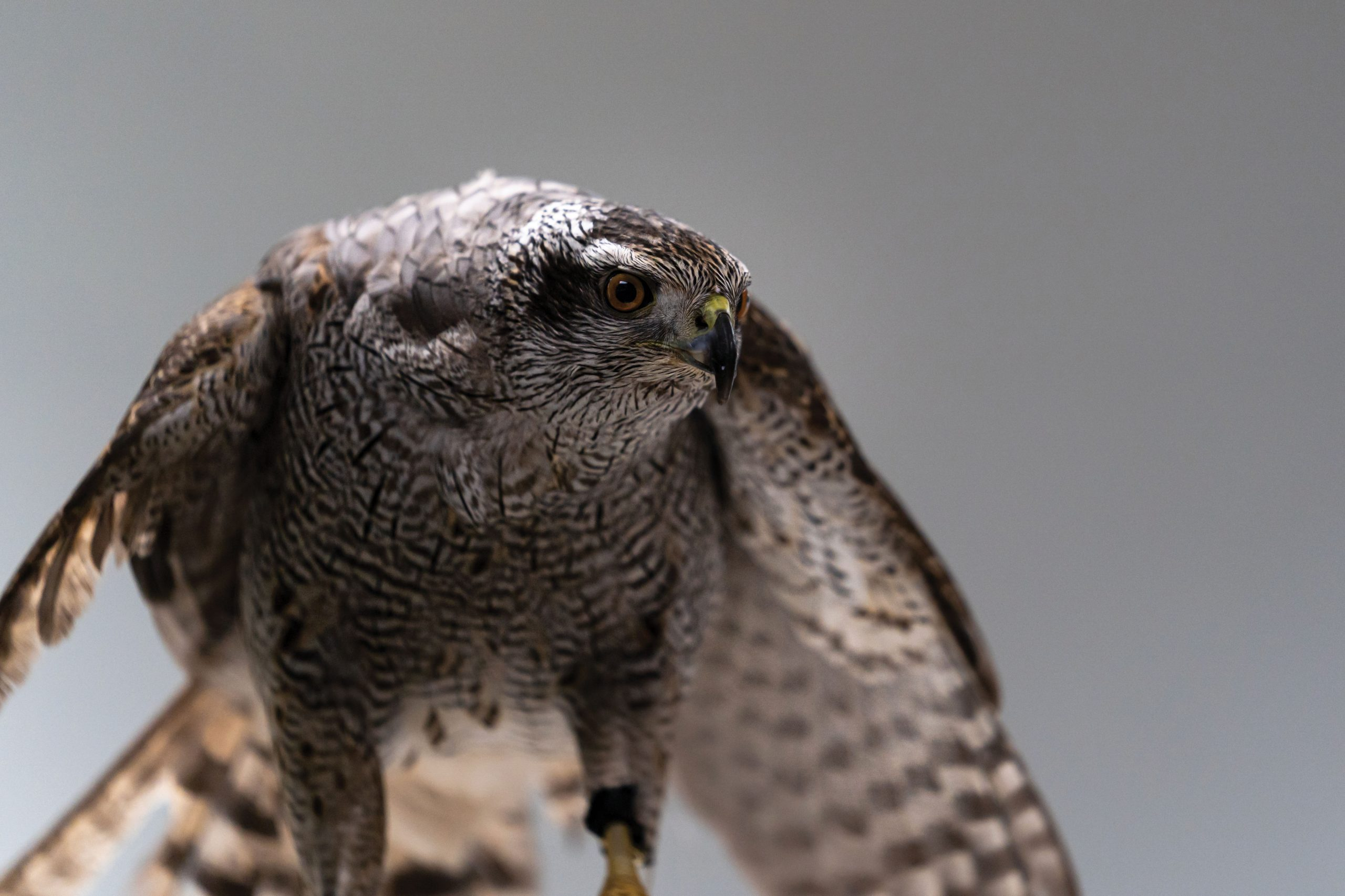A Northern Goshawk with a broken wing receives treatment at the Alaska Raptor Center in Sitka, Alaska. Rehabilitation centers across North America help birds of prey recover from collisions with vehicles and power lines, lead poisoning, gunshot wounds, and many other injuries and ailments. Photo by Stephen James Burke/Shutterstock