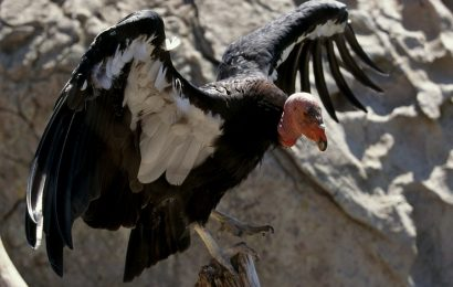 North America was once home to tens of thousands of condors