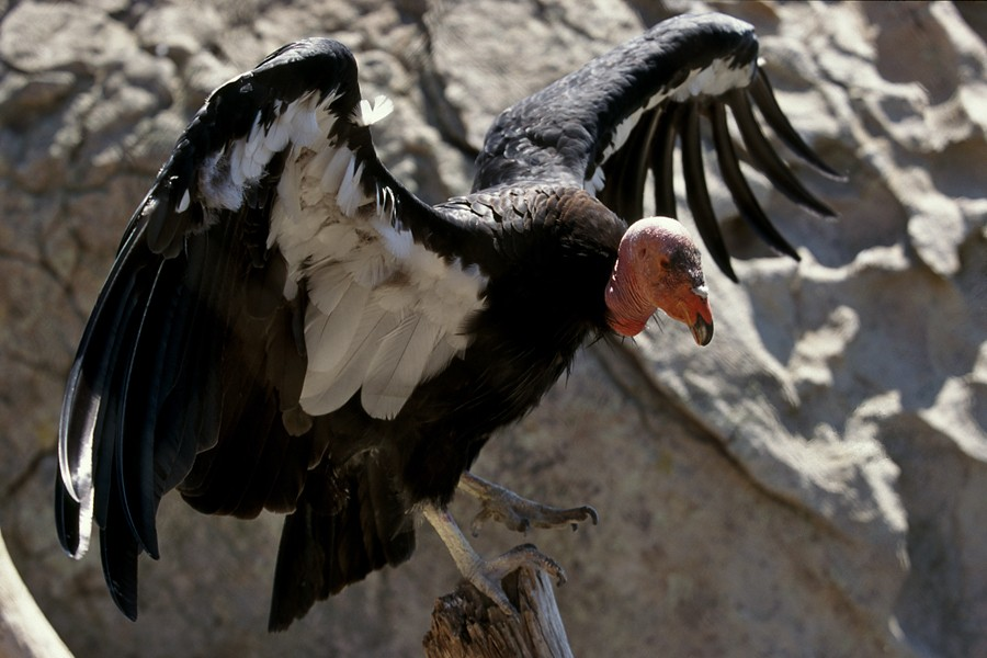 tens of thousands of condors