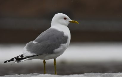 Changes to North America's bird list in 2021