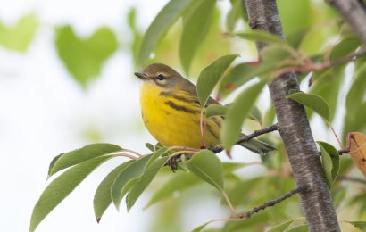 Golden-winged Warbler and Blue-winged Warbler are remarkably similar
