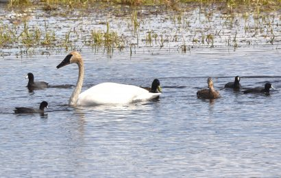 Trumpeter Swan, American Coots, and Mallards