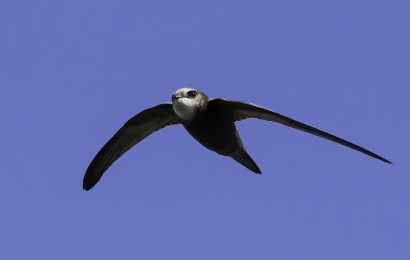 Scientists record new daily speed record for swifts